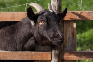 domestic-goat-capra-aegagrus-hircus-goat-animal